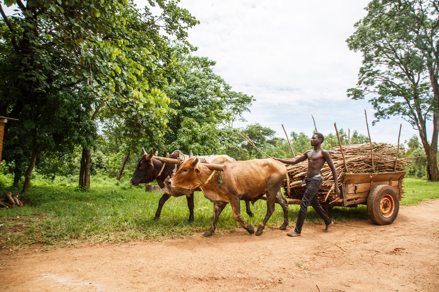 A man drives cattle pulling a cart full of firewood